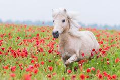 Pferde im Mohnfeld   Pferdefotografie München   Rahlmeier