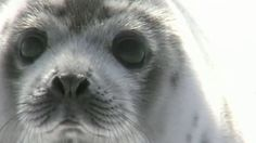 Thousands Of Baby Seals Are Dying In Canada's Cruel Hunt Every Year