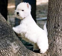 West Highland White Terrier. They are members of the terrier group. They are great vermin hunters and companions. They stand at 10-11 inches at the shoulder and weigh about 13-22 pounds. Winners: 1942 and 1962.