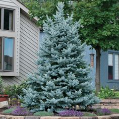 Baker Blue Spruce 'Bacheri' is a semi-dwarf, broad-conical form that matures to tall and to wide over time. Needles are silver-blue. Landscaping Trees, Privacy Landscaping, Front Yard Landscaping, Garden Shrubs, Lawn And Garden, Porches, Front Yard Planters, Blue Spruce Tree, Rogers Gardens