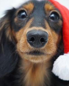 @digitdax • Instagram photos and videos #dachshund