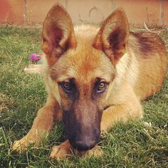 Willy - The Malinois. Belgium Malinois, Belgian Malinois Dog, Belgian Shepherd, Shepherd Dogs, German Shepherds, Malinois Shepherd, Pastor Belga Malinois, Herding Dogs, Dogs And Puppies