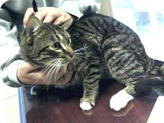 Meowllo!  Statesville, NC - Domestic Mediumhair. Meet HUNTER a Cat for Adoption.