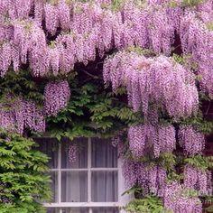 10pcs Mixed Color Garden Wisteria Seeds Climbing Vine Home Decoration Plant at Banggood