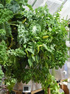 Art Garden Growing Systems customer growing in Oregon!   Contact us at artgardenllc@gmail.com  http://youtu.be/1WbkzkpEaI8