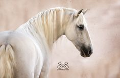 "had an amazing time in Portugal Here is ""Al-Hassan"" - a Lusitano Stallion I was able to photograph. He had a lovely long mane and enjoyed playing at liberty at the beautiful farm: Morgado Lusitano, Portugal Photo ©StunningSteeds Beautiful Farm, Horse Portrait, Equine Photography, Horse Head, Pretty Little, Art Inspo, Portugal, Head Shots, Horses"