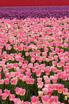 Tulip Field so beautiful the site of pink and then purple tulips growing. I love tulips!