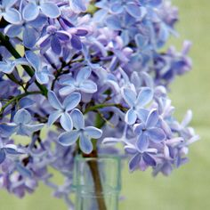 President Lincoln lilac (Syringa), fast grower with clusters of fragrant blooms. The plant has one slight drawback: the flowers tend to be hidden in the leaves and the leaves are huge. Light Blue Flowers, Big Flowers, Beautiful Flowers, Rose Flowers, Garden Shrubs, Lawn And Garden, Garden Plants, Roses Garden, Fruit Garden