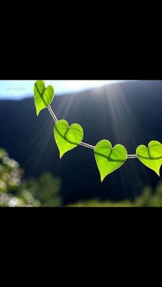 Love this vine!!  Hearts in nature