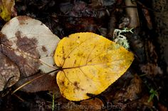 Beautiful golden leaf on the forest floor during fall at Prince Albert National Park.