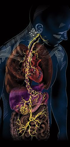SUPER-HIGHWAY: The vagus nerve runs from the brain stem down the neck and into the abdomen, reaching a slew of organs in the process. Fibromyalgia Pain Relief ** Super Nerve Power and Brain Power Anatomy Art, Human Anatomy, Fibromyalgia Pain Relief, Arte Van Gogh, Medical Wallpaper, Brain Stem, Craniosacral Therapy, Vagus Nerve, Nerve Pain