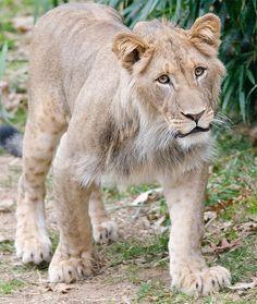 omg it's the tawny scrawny lion!!!!!