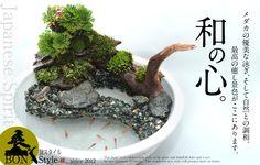 めだかのことならなんでも!メダカ通販 MEgumi め組。 Patio Pond, Diy Pond, Succulent Bonsai, Planting Succulents, Container Water Gardens, Indoor Water Garden, Moss Plant, Plantas Bonsai, Mini Bonsai
