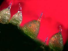 Toxic Cucumber by Robert Rock Belliveau via nationalgeographic: The pointed trichomes are 40 times thinner than a sewing needle, can prick animals' mouths and contain cucurbiticin, a toxic bitter substance which repels or even kills invaders. Cucurbiticins are so bitter that people can taste their presence even when the substance is diluted to one part per billion. #Sea_Cucumber #Robert_Rock_Belliveau #nationalgeographic #Photography