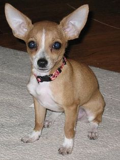 1000 Images About Chihuahua Min Pin On Pinterest Min