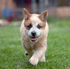 little red heeler