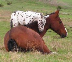 Mare and Appaloosa foal