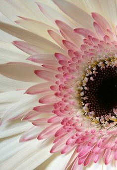 ♥ Pink sunflower