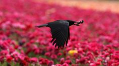 """Photograph of a crow against a field of magenta. This really caught my eye. Love the contrast of the sharp-focus black bird against the impressionistic bright pink background. And anyway, I love crows, ravens—all the corvid family. I don't find them sinister at all. They are smart and make me think of how little we know about the """"inner lives"""" of animals."""