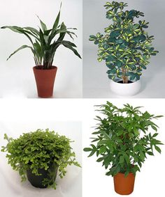 Aspidistra, Cheflera, Filodendro y Selaginella -> Plantas de interior que necesitan poca luz