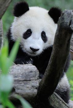 Fu Bao at Zoo Vienna in Austria. © Josef Gelernter.