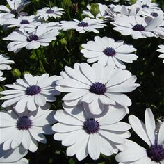 Osteospermum - blue eyed daisy    daisies and sunflowers are my favorite... they aren't at all pretentious and they are always happy... just what I want to be when I grow up!