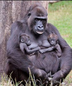 MAMA GORILLA + TWINS (photo by Kris Verhulst, N'Gaya with boy & girl twins, BurgersZoo, Netherlands https://www.flickr.com/photos/69868933@N07/9407910813)