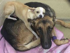 An animal shelter in Arizona is seeking a special home for adorable, bonded friends. On October 5, the Arizona Humane Society posted a plea on behalf of the sweet duo: These adorable best buddies are looking for their furever home! Jefe the Chihuahua and Jericho the German Shepherd came to AHS through our Field team …