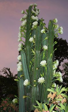 Early morning reveals the night flowering of our cactus. The daylight show lasts for only a few hours before the flowers close and die. During the early stages of the wet season the cactus may undergo several flowering phases lasting for up to a week