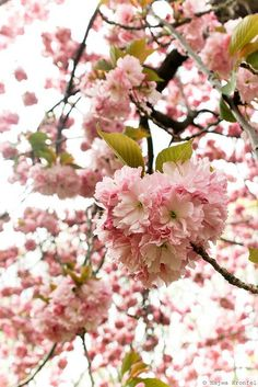 Cherry Blossom by Delicious Shots, via Flickr
