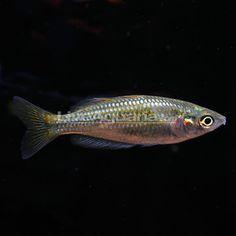 Aquarium on Pinterest Tetra Fish, Fish Tanks and Catfish