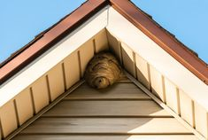 Paper wasp nest on triangular roof siding. Gray paper wasp nest in corner of tri ,
