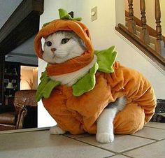 Pumpkin Cat Costume http://catcostumes.org/the-pumpkin-cat-costume/