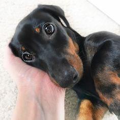 •pinterest // fashionista1152 !-/• #dachshund