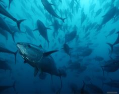 WWF is deeply disappointed with ICCAT's decision to drastically increase catch quotas for bluefin tuna when the recovery of the stock is not confirmed yet. Movement Of Animals, Oceans Of The World, Animal Wallpaper, Underwater World, Ocean Life, Marine Life, Sea Creatures, National Geographic, Wildlife