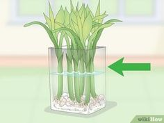 How to Propagate Lucky Bamboo. Lucky bamboo is a popular houseplant that people love to give as a housewarming gift. Despite the name, lucky bamboo isn't really bamboo, and is instead a species of Dracaena. Lucky Bamboo Care, Bamboo Plant Care, Snake Plant Care, Lucky Bamboo Plants, Bamboo Tree, Growing Bamboo, How To Grow Bamboo, Bamboo Stalks, Bamboo Crafts