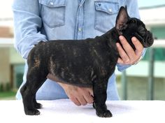 Reserva Bull Madame Adèle World Winner, Dog Show, Dog Training, French Bulldog, Dog Lovers, Puppies, Dogs, Animals, Cubs