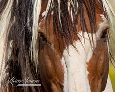 Picasso Close Up  Fine Art Wild Horse Photography by Carol Walker www.LivingImagesCJW.com