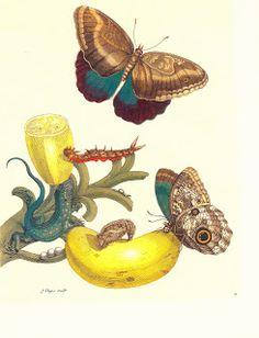 Botanical Illustration: Insects of Surinam by Maria Sibylla Merian
