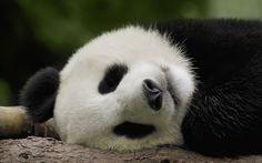 Just a Bunch of Silly Pandas Niedlicher Panda, Panda Love, Bored Panda, Sleeping Panda, Sleeping Animals, Cute Panda Wallpaper, Animal Wallpaper, Unique Wallpaper, Panda Mignon