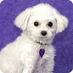 Costa Mesa, CA - Maltese Mix. Meet Timmy, a dog for adoption. http://www.adoptapet.com/pet/12858312-costa-mesa-california-maltese-mix