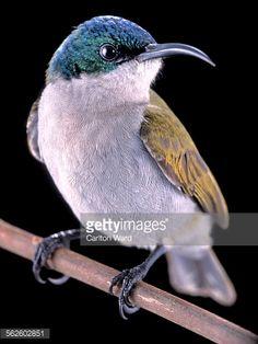 Green-headed sunbird (Cyanomitra verticalis)
