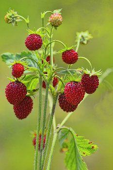 http://fineartamerica.com/featured/scrub-of-wild-strawberry-alexander-ovchinnikov.html