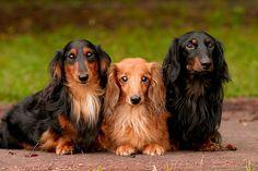 Beautiful long haired Dachunds