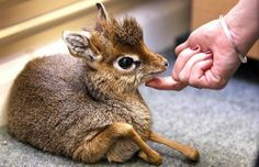 Chevrotain (mouse deer)