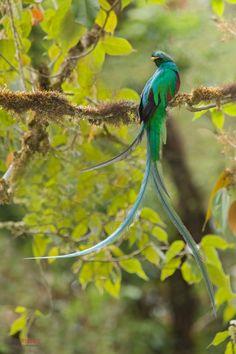 Resplendent Quetzal  (Pharomachrus mocinno) by Chris Jimenez on 500px