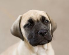 english mastiff puppies for sale when looking for english mastiff dog . British Mastiff, Bull Mastiff Puppies, English Mastiff Puppies, Mastiff Breeds, English Mastiffs, American Mastiff, Giant Dog Breeds, Giant Dogs, Big Dogs