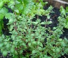 5 Herbs that grown well in Containers