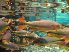 Fishes swim in clear water in Bonito (MS), Brazil Aquarium Nature Aquarium, Aquarium Fish, Rio, Fish Swimming, Fish Art, Best Part Of Me, Beautiful Creatures, South America, Animals And Pets