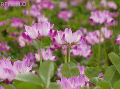 写真:レンゲ草の画像